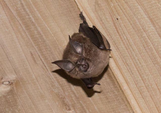 角菊头蝠 (Rhinolophus cornutus)