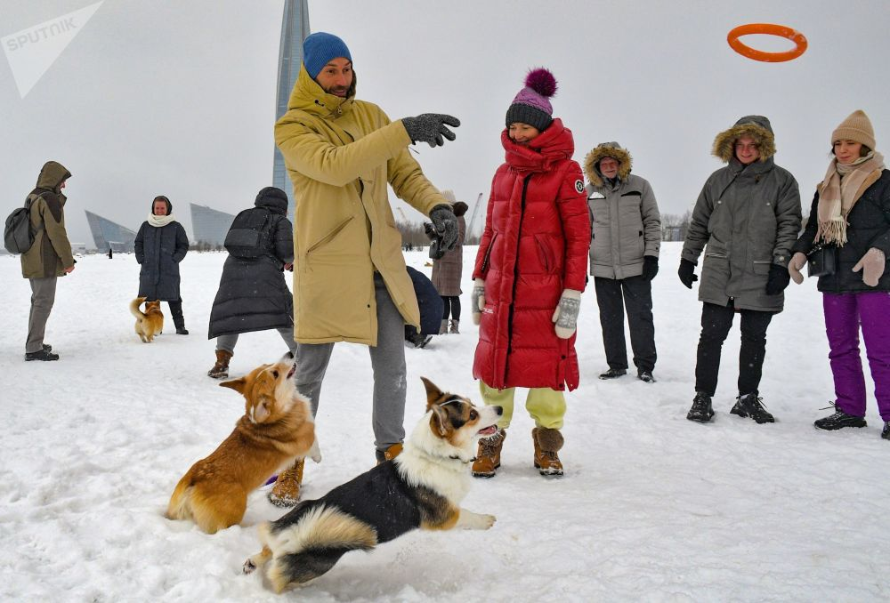 圣彼得堡市柯基犬主人携爱犬参加情人节犬装跑秀活动。