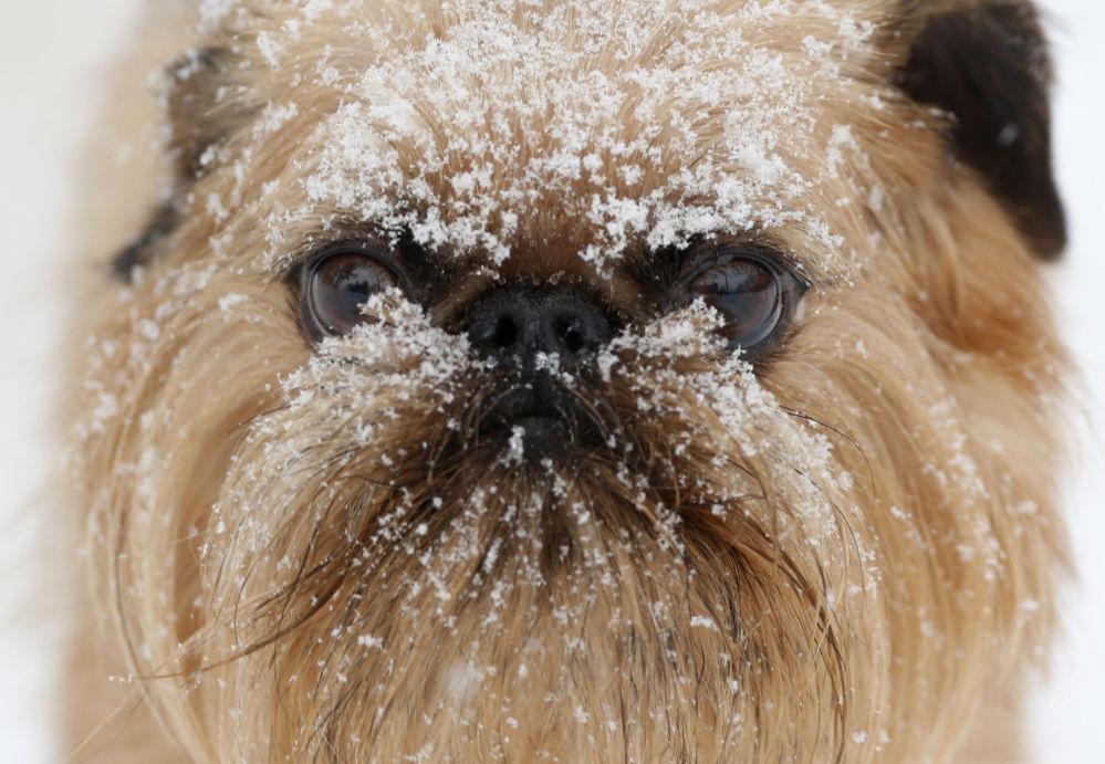 美国纽约州,奥尔巴尼哈德逊狗狗护理中心里满脸是雪的小狗。