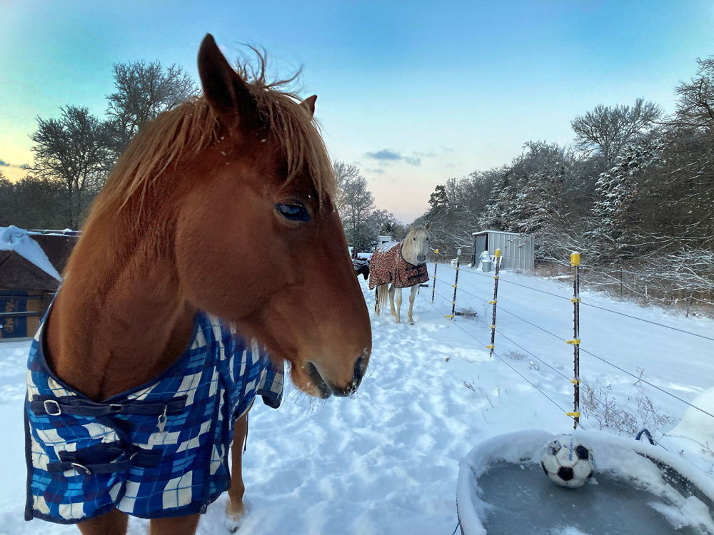 美国得州,披着披衣的马在饮水器旁喝冰水。