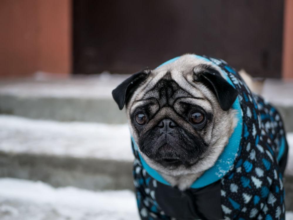 身穿冬季服装的小哈巴狗。