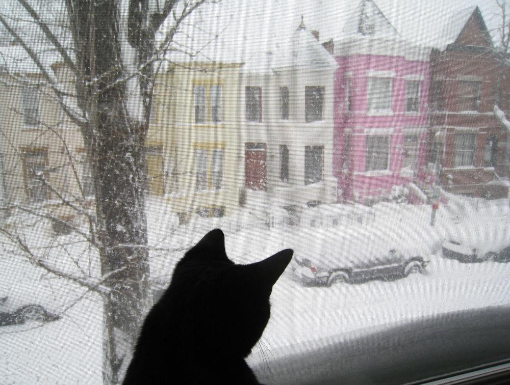 华盛顿,一只猫坐在窗边看着外面被积雪覆盖的街道。