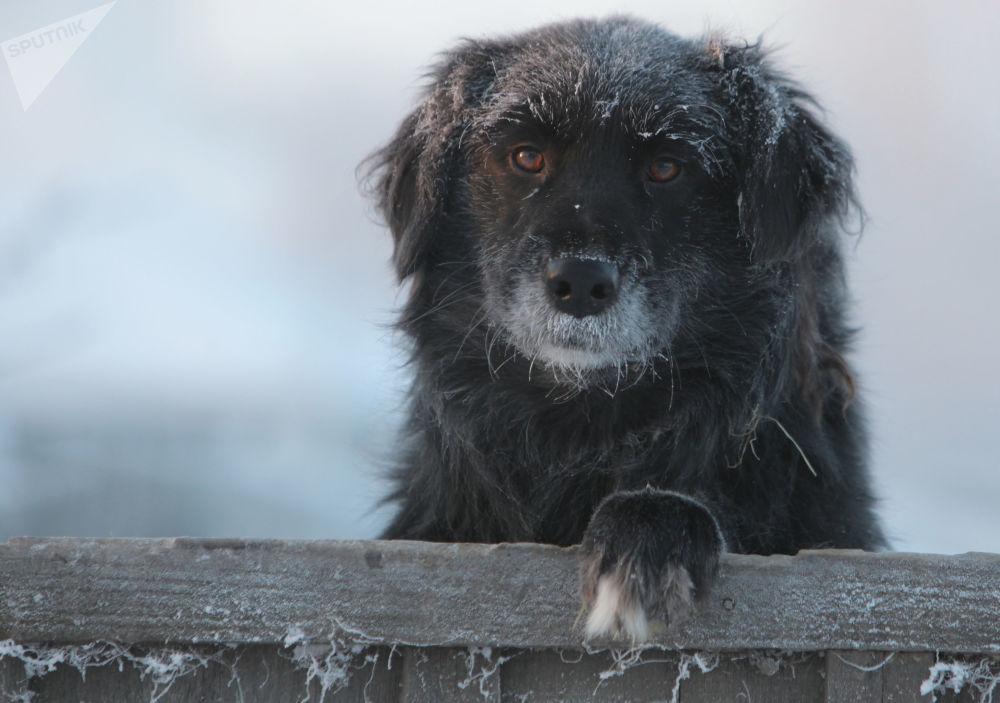 鄂木斯克州塔拉市,严寒天气下院子里的一只狗狗。