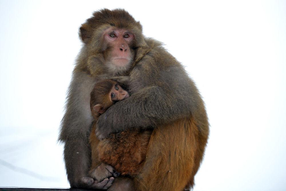 猴妈妈抱着自己的孩子取暖。