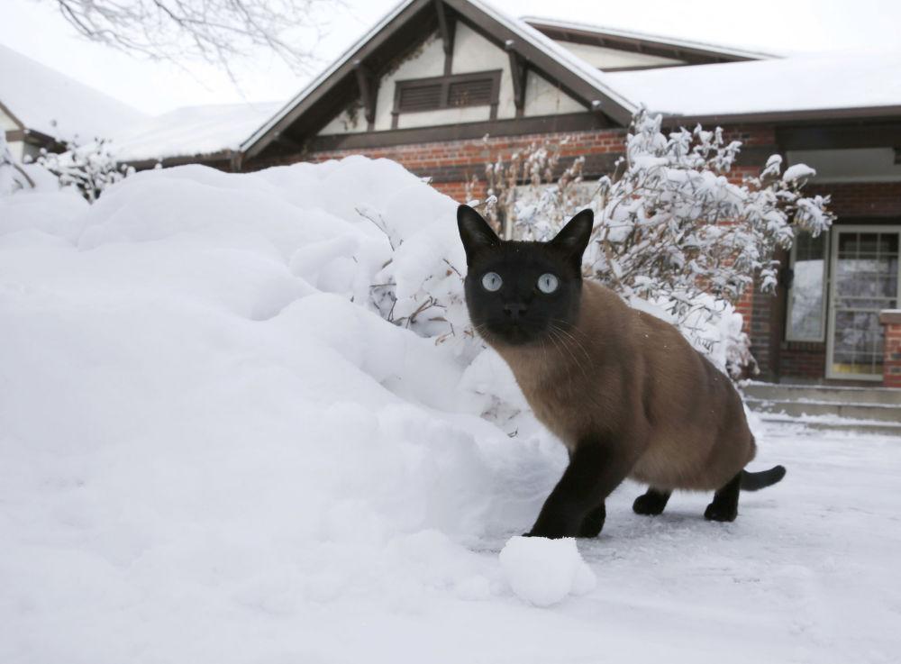 美国丹佛,一只猫在暴风雪过后的院子里散步。
