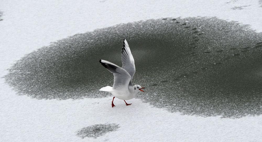 柏林,海鸥在冰冻的湖面上溜达。