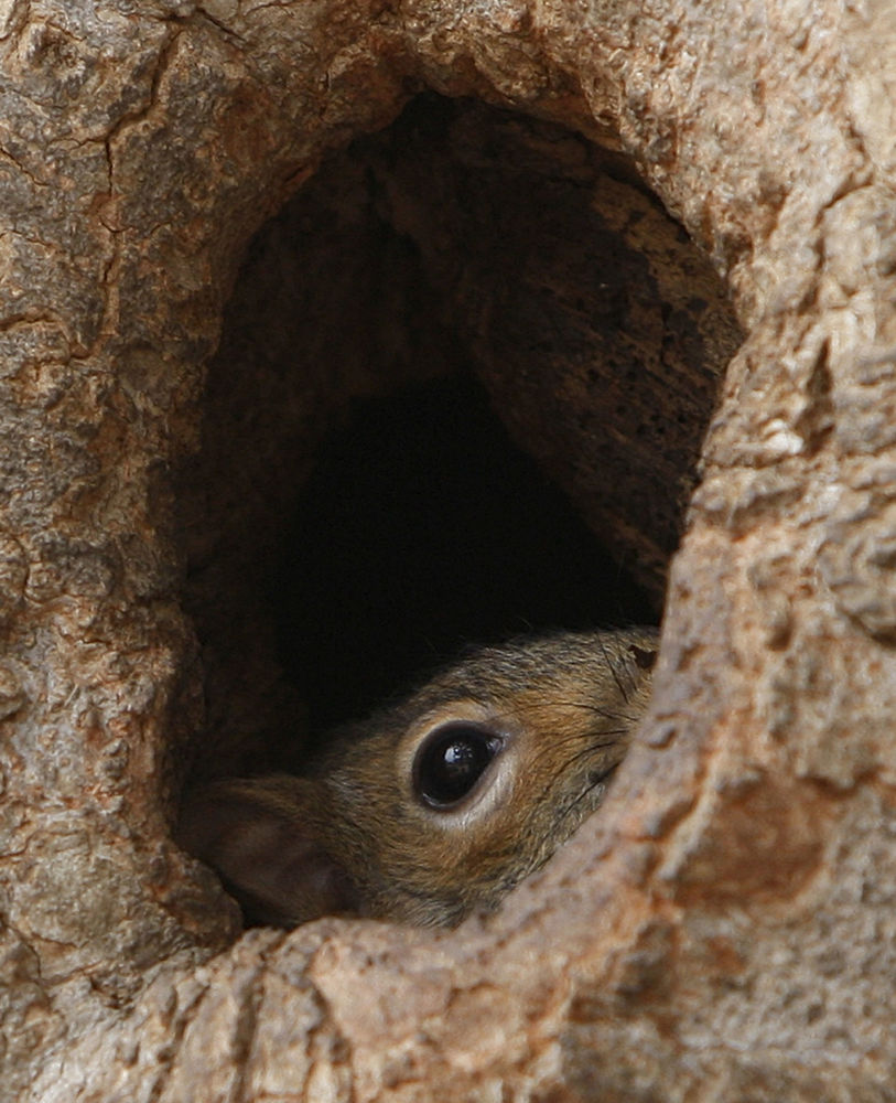 华盛顿,白宫对面拉斐特公园一个树洞里的松鼠。