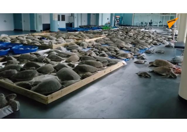 美国得州4000多只海龟从严寒中获救