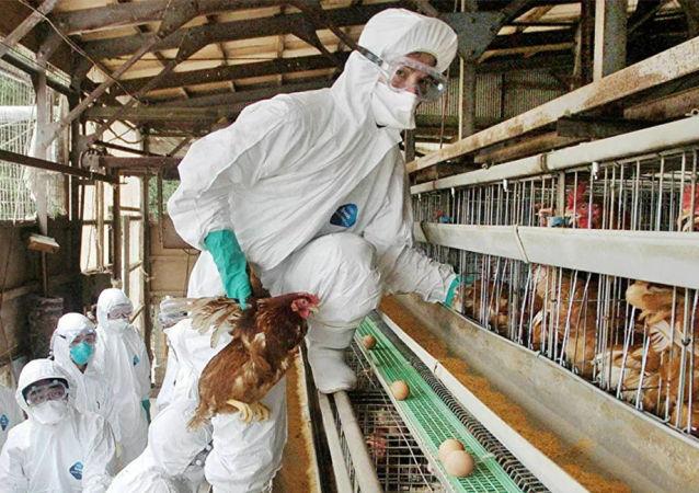 韩国发现第102处H5N8禽流感疫情暴发点