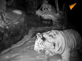 老虎幼崽与相机陷阱