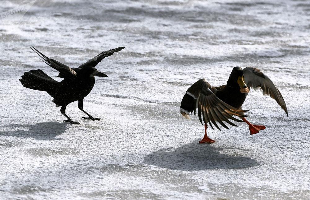 辛菲罗波尔市加加林公园水塘边的飞鸟。