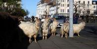 野生克什米尔山羊在威尔士兰迪德诺市街道上游走。