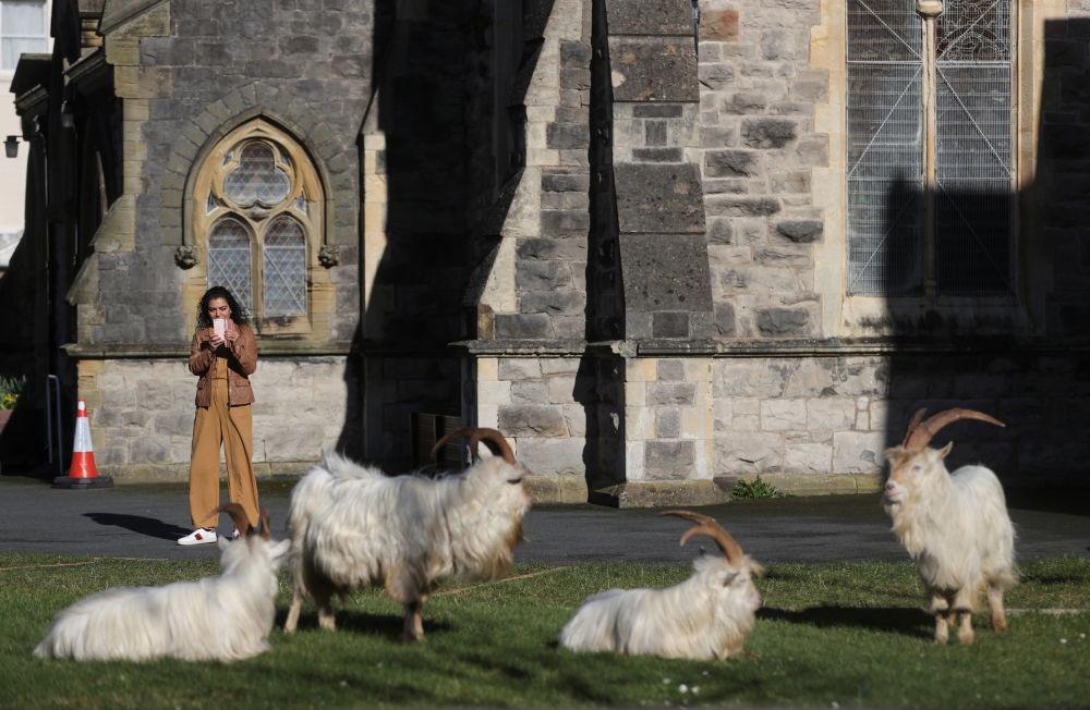 威尔士兰迪德诺市居民给野山羊拍照。