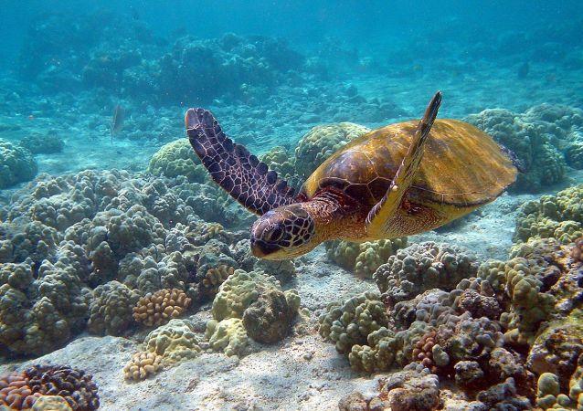 绿海龟 (Chelonia mydas)