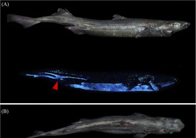 三种新的会发光的深海鲨鱼在新西兰海岸附近被发现