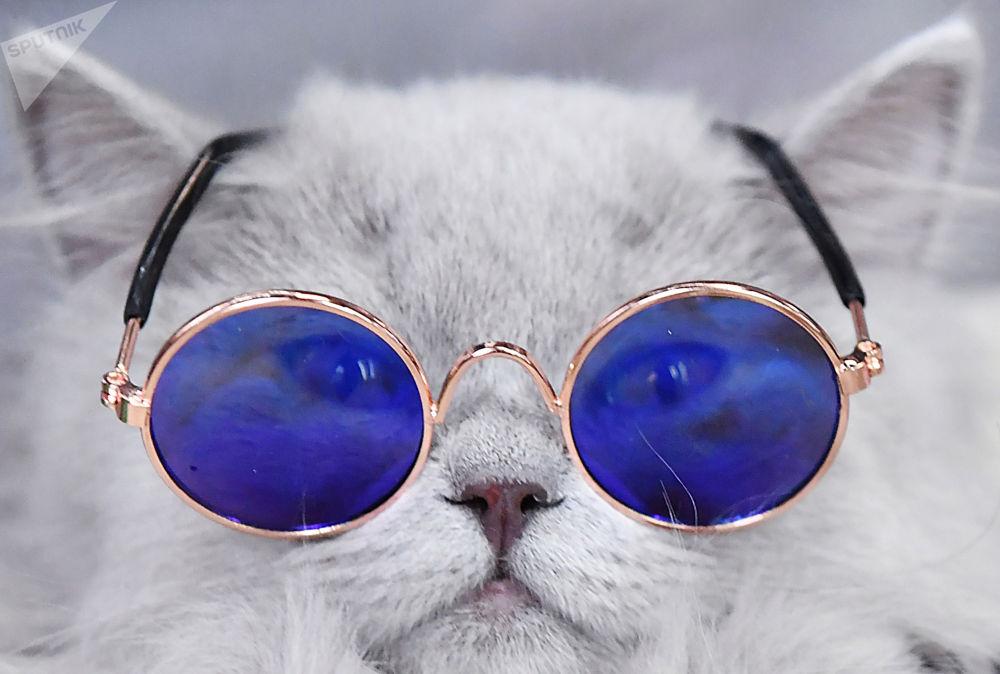 俄罗斯KoSHAriki show爱猫宠物展。