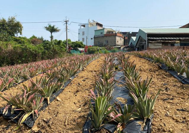 台湾地区菠萝