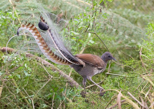 华丽琴鸟  (Menura novaehollandiae)