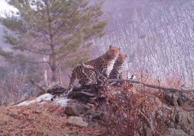 隐藏式摄像机偶遇稀有远东豹