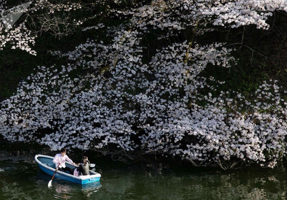 日本樱花绽放。