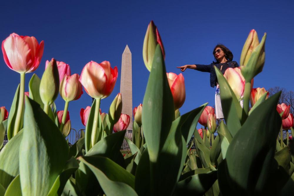 华盛顿开放的郁金香。