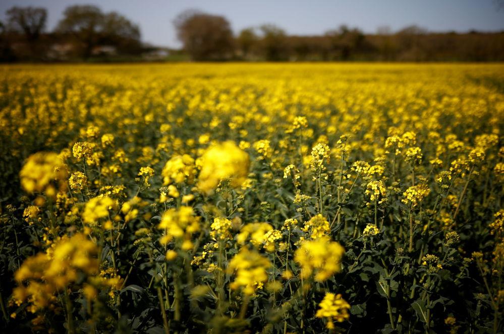 法国,黄色的油菜田。