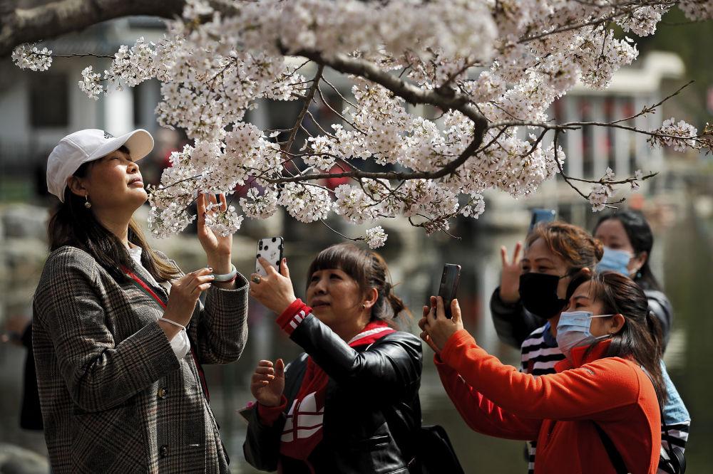北京市民在植物园桃花节中拍摄盛开的樱花。