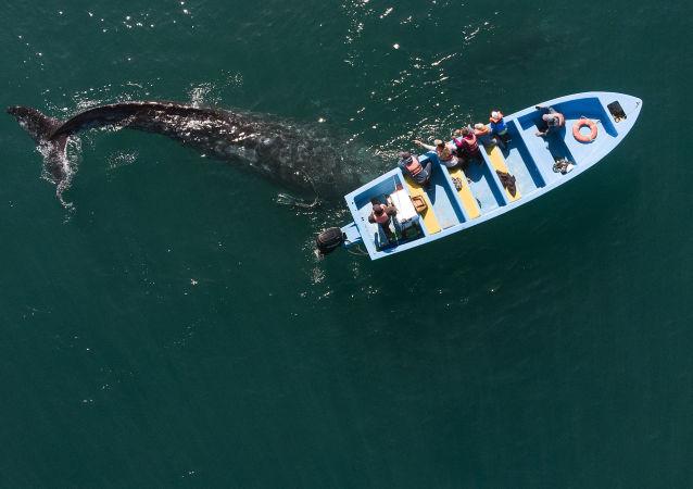 墨西哥,航拍游船附近的灰鲸。