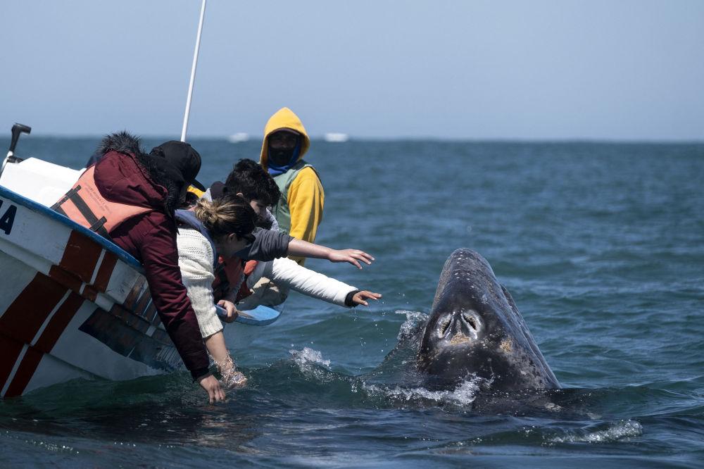 墨西哥,游客们正试图触摸灰鲸。