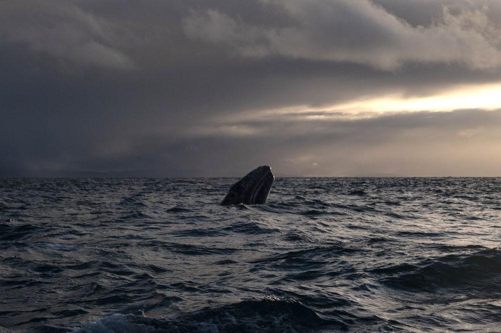 墨西哥奥霍德列夫雷泻湖里的灰鲸。