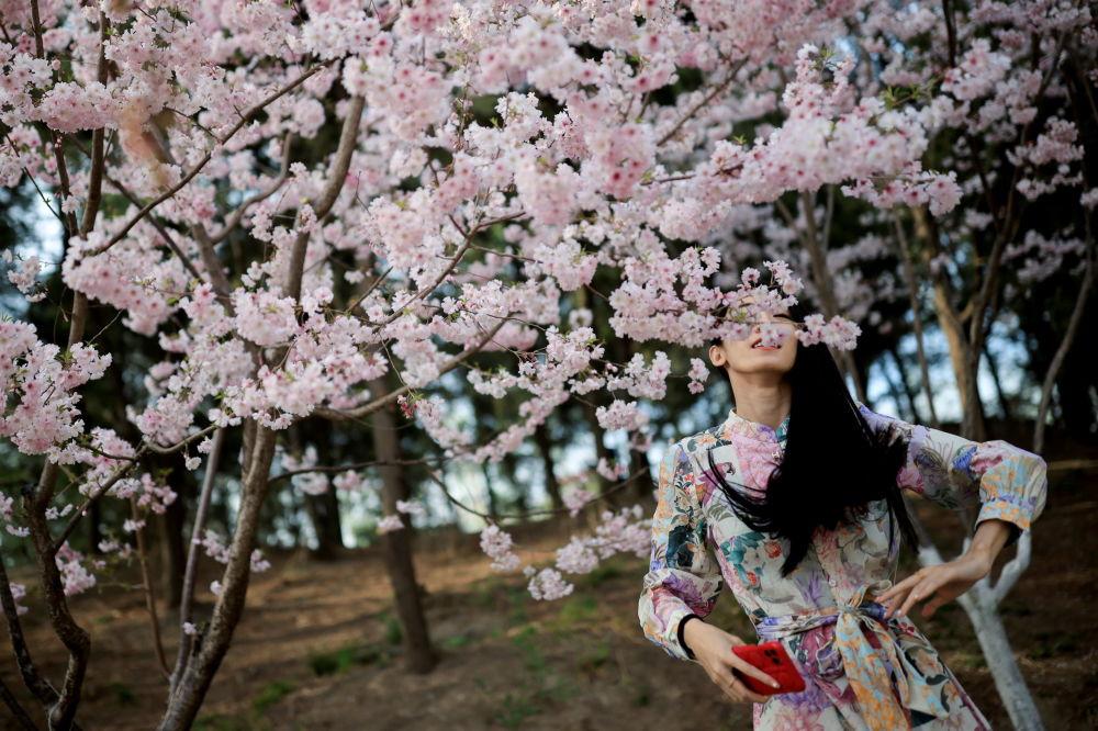 北京玉渊潭公园里樱花盛开,一名女子站在树下赏花。