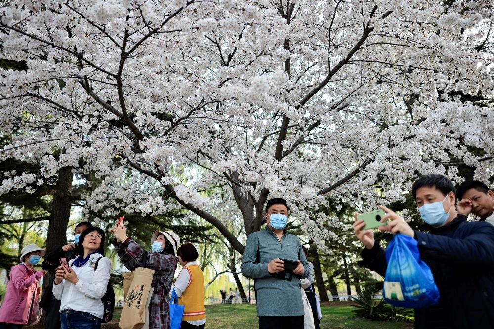 北京玉渊潭公园春季赏花季,游客拍摄盛开的樱花。