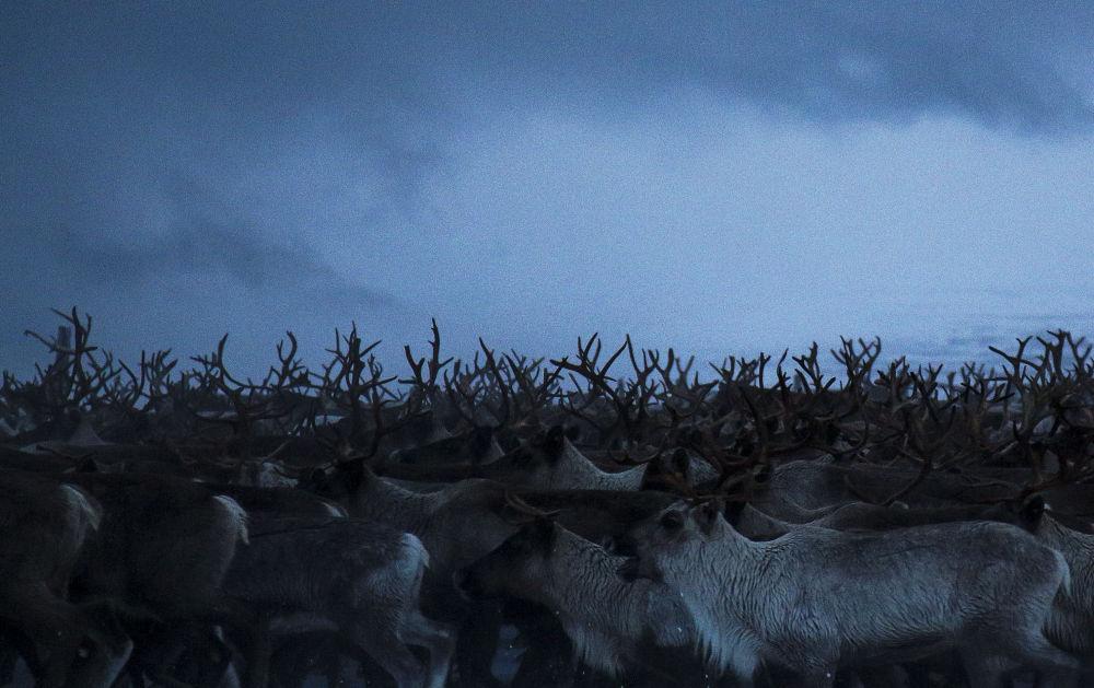 摩尔曼斯克州牧场上的驯鹿