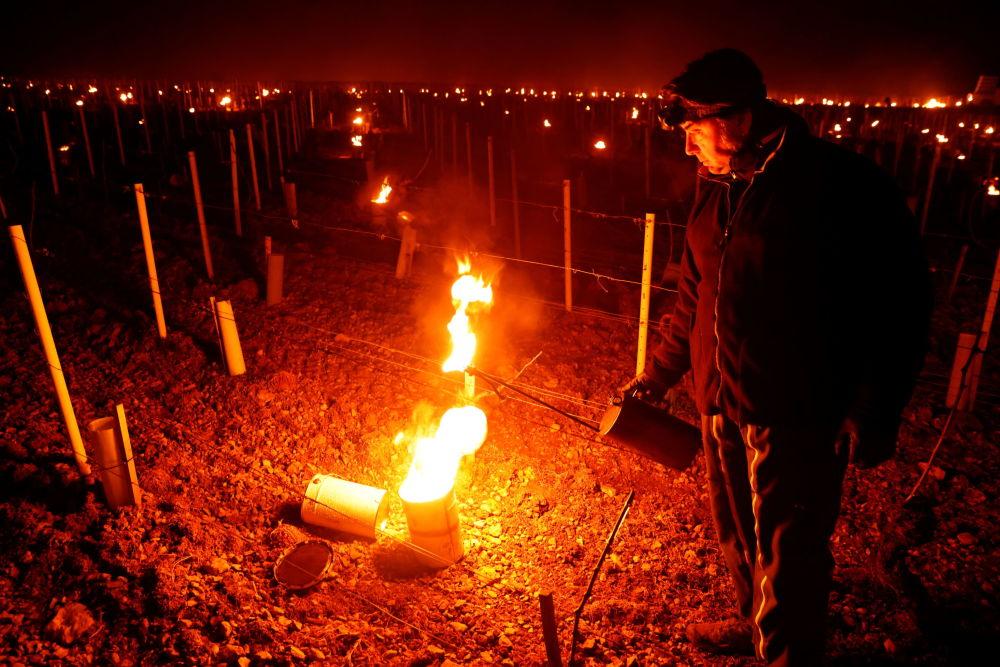 法国果农抢救葡萄园葡萄。