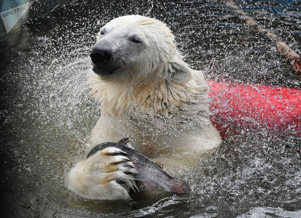 """克拉斯诺亚尔市""""罗耶夫""""动植物公园中的北极熊。"""