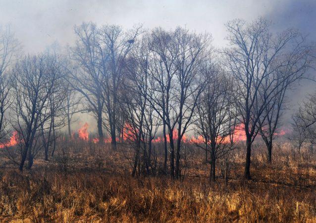 滨海边疆区森林火灾面积单日增长9倍