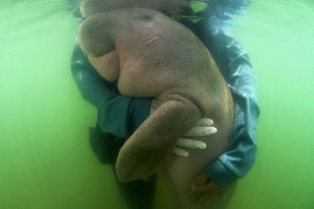 泰国海洋生物中心工作人员怀抱的一只海牛。