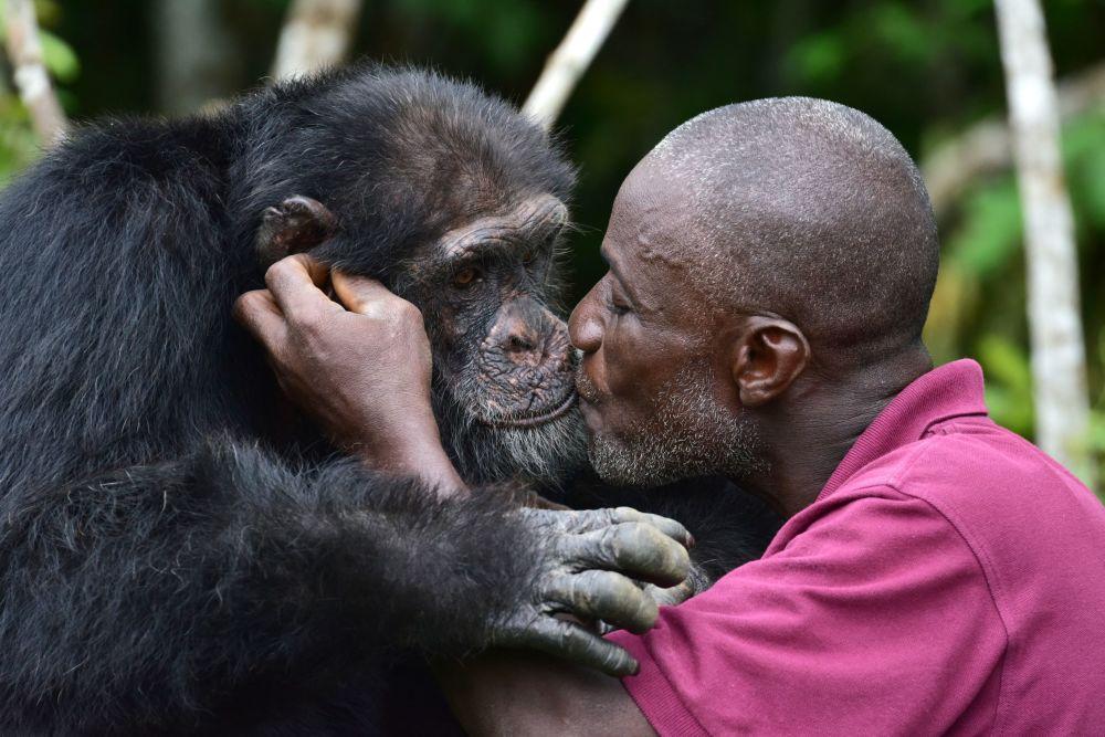 利比里亚幸存的黑猩猩。