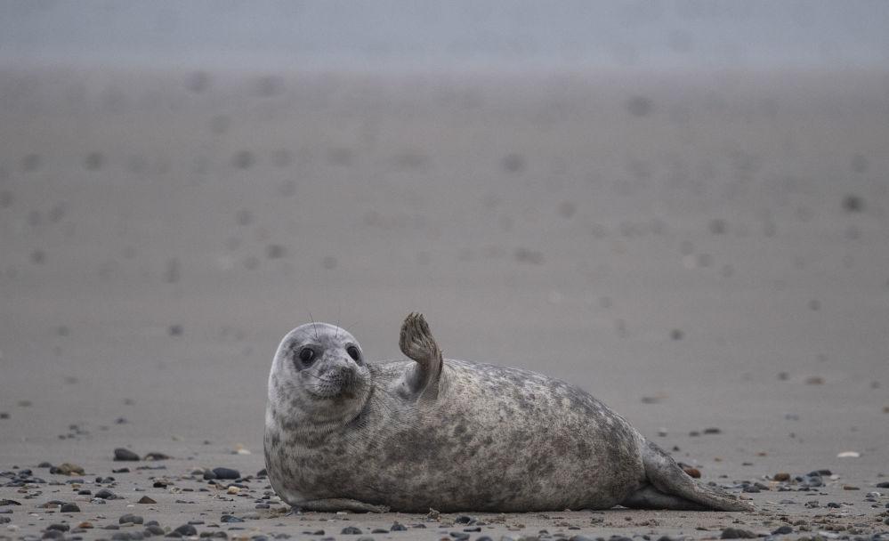 海利格兰岛沙滩上的一只灰海豹。