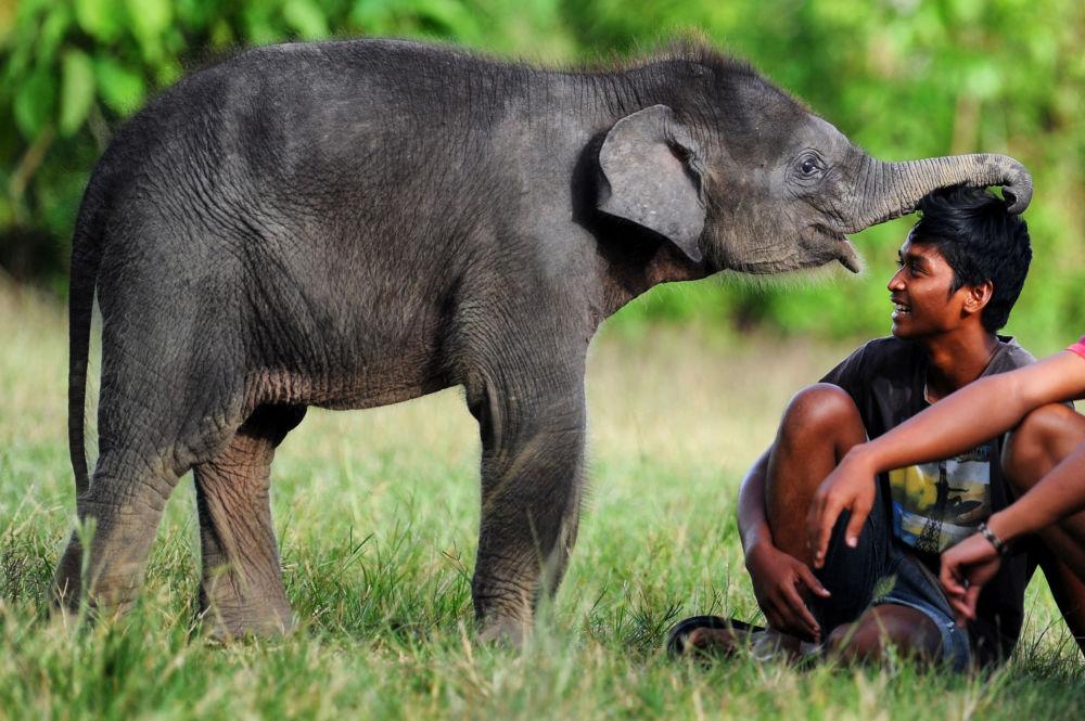 苏门答腊岛苏门答腊岛勒塞尔生态系统自然保护区中的一只小象。