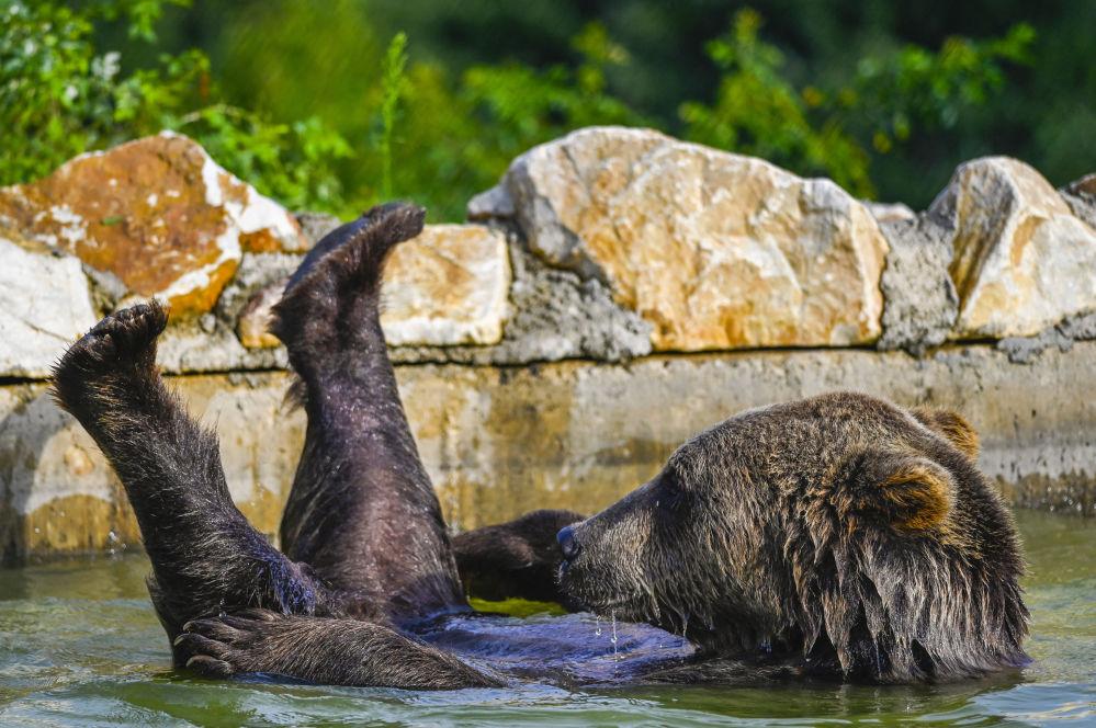 棕熊在姆拉莫尔村保护区泳池游泳。
