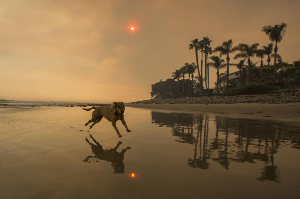加利福尼亚海滩上奔跑的宠物犬。