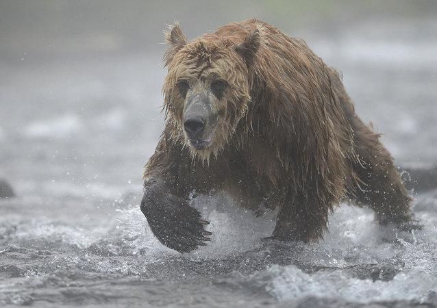 堪察加棕熊