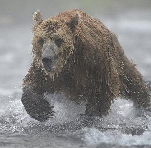 俄堪察加地区棕熊开始苏醒