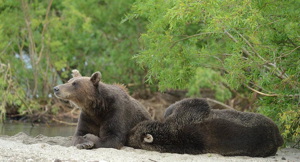 切尔诺贝利地区百年来首次出现野熊