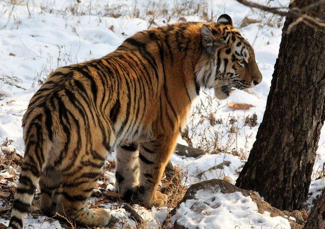 """老虎""""乌斯金""""被捕获并送到滨海边疆区一家康复中心"""