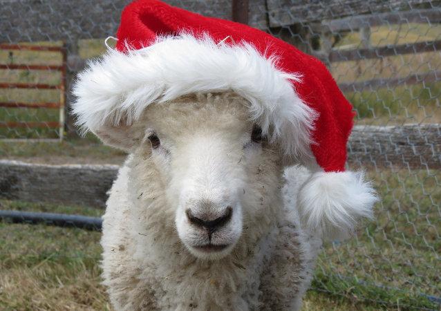 羊年送活羊可取否?