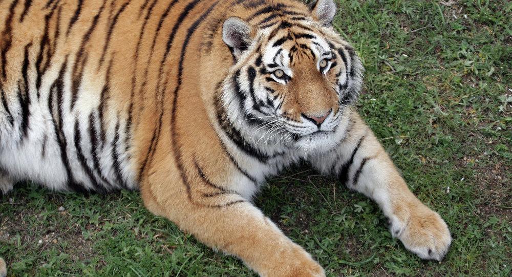 一只老虎在俄滨海边疆区袭击两头牛 未威胁居民