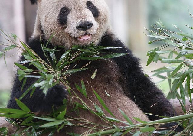 一只受伤的野生大熊猫在四川死亡