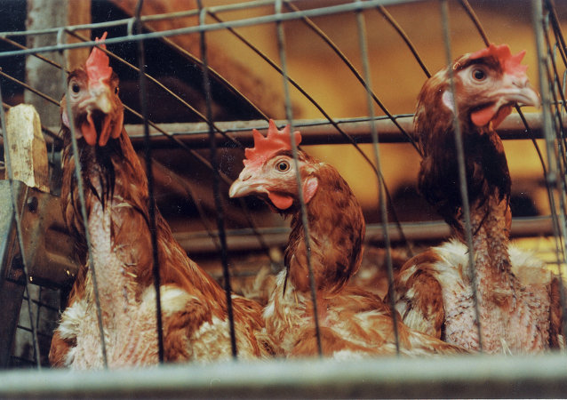 台湾当局因禽流感病毒威胁扑杀12万只鸡